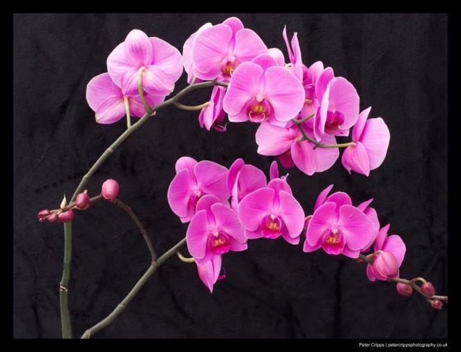 Joan's Orchid