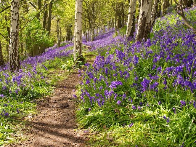 """""""Bluebell Walk"""", Kent, England"""