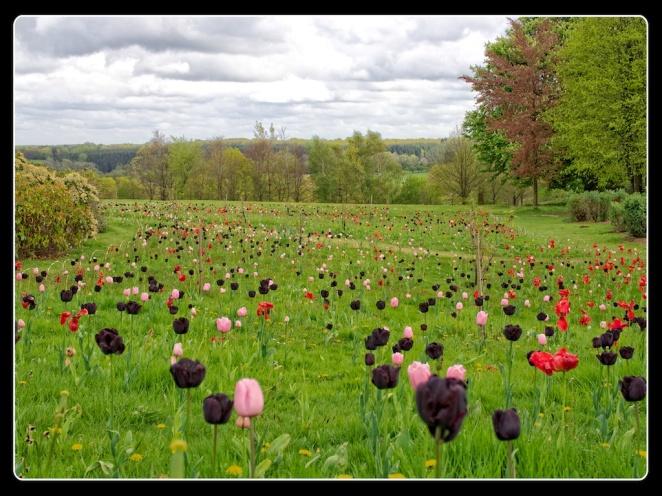 """Marching Tulips"", Kent, England"