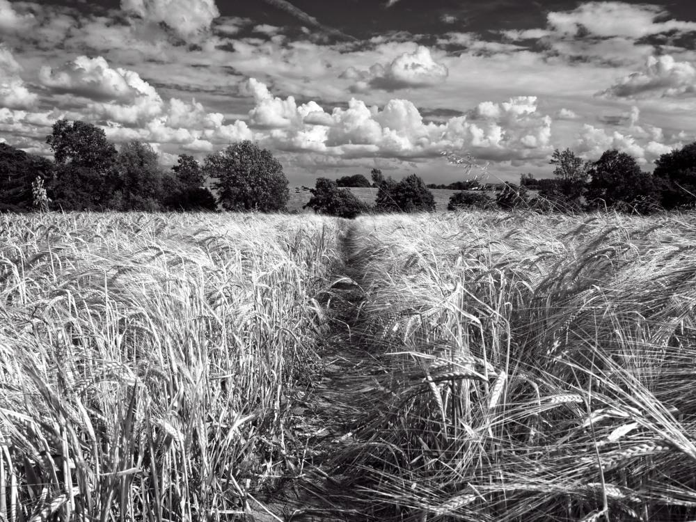 Fields of Wheat, Warwickshire, England