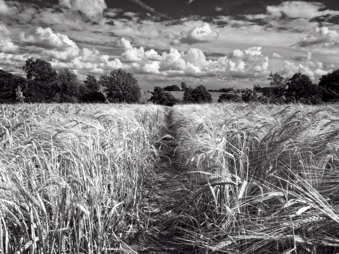 Fields of Wheat, Warwickshire, England