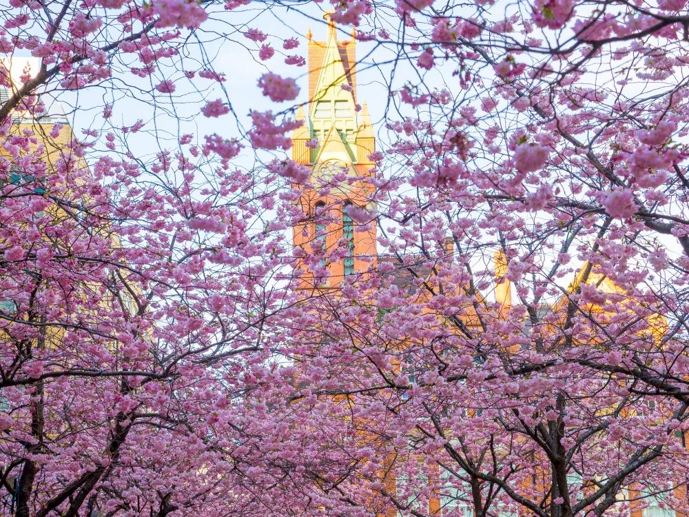 Blossom Trees, Brindley Place, Birmingham