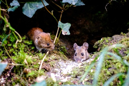 Wood Mouse and Bank Vole