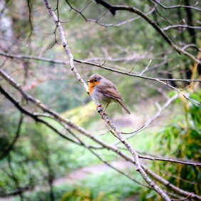 Robin at Coleton Fishacre