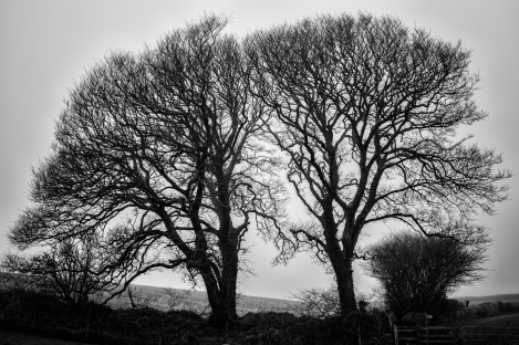 Two Trees Near Coleton Fishacre