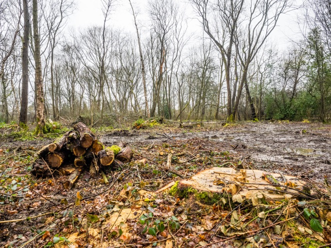 Uncollected Logs and Chopped Down Tree