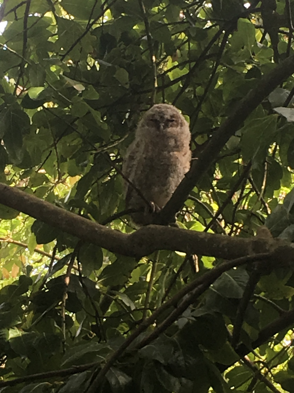 Tawny Owl Taken with iPhone SE