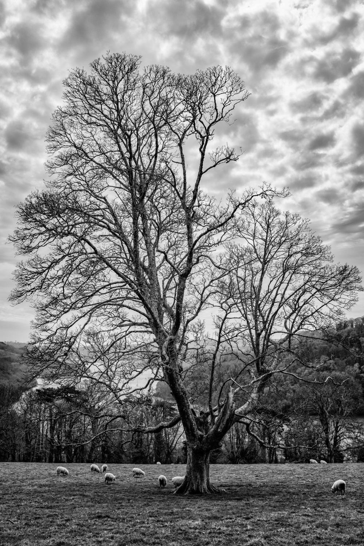 Tree Overlooking River Dart